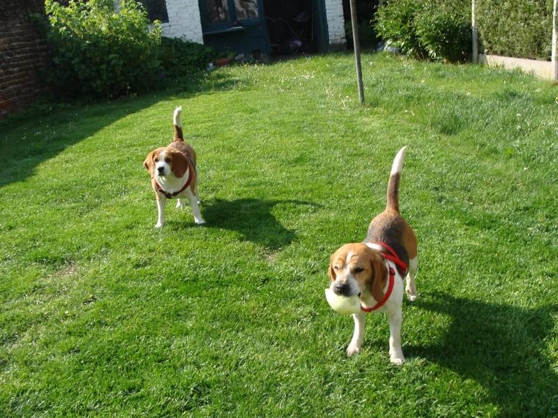 VICKY, beagle femelle, 5 ans (59) Dsc01014