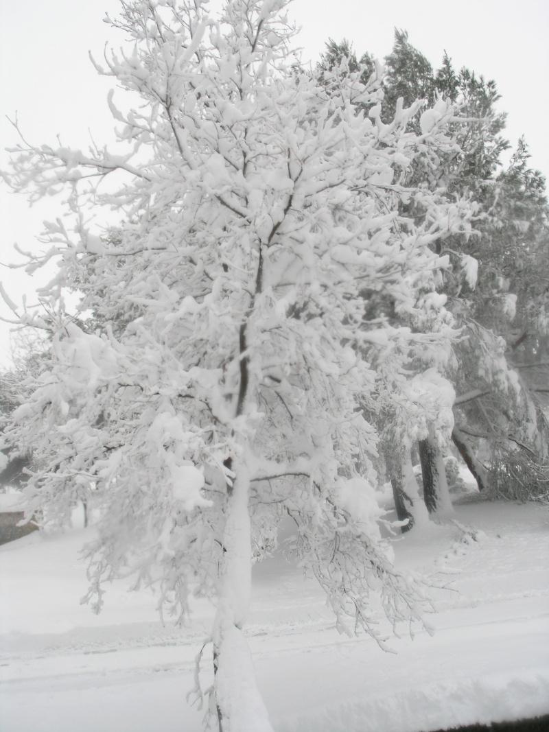 la neige sur mes arbres P1012210