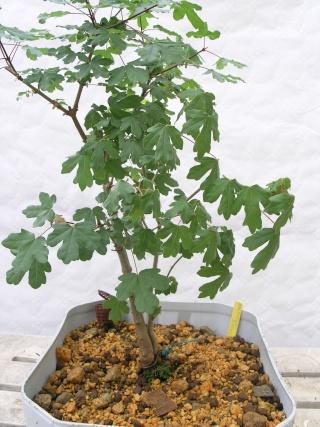 jeunes plants erables champêtres P5022318