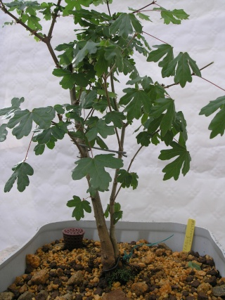 jeunes plants erables champêtres P5022319