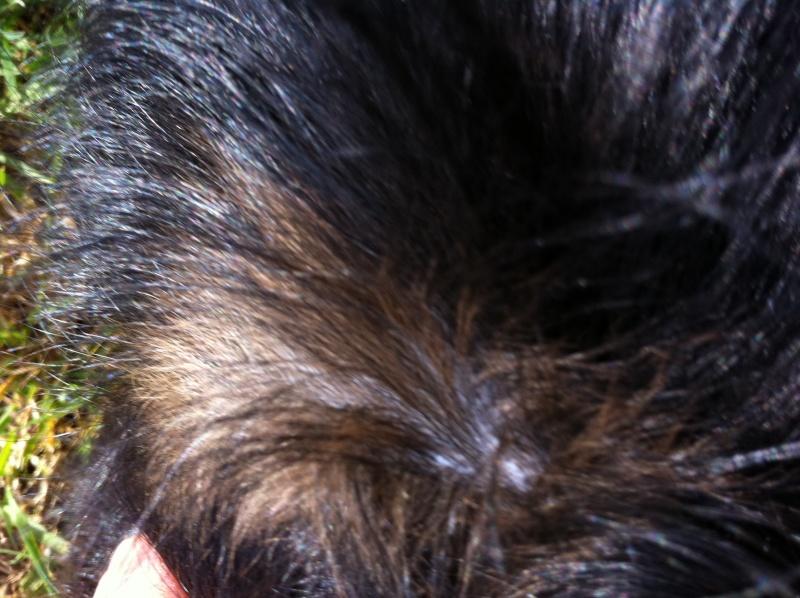 un griffon belge adulte peut-il changer de couleur et devenir bruxellois ? Img_0215