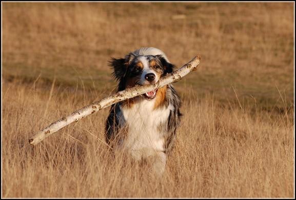 Entrainements & Sorties des chiens, chiens ~ Alix10