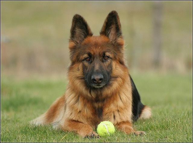 Entrainements & Sorties des chiens, chiens ~ Midnig10