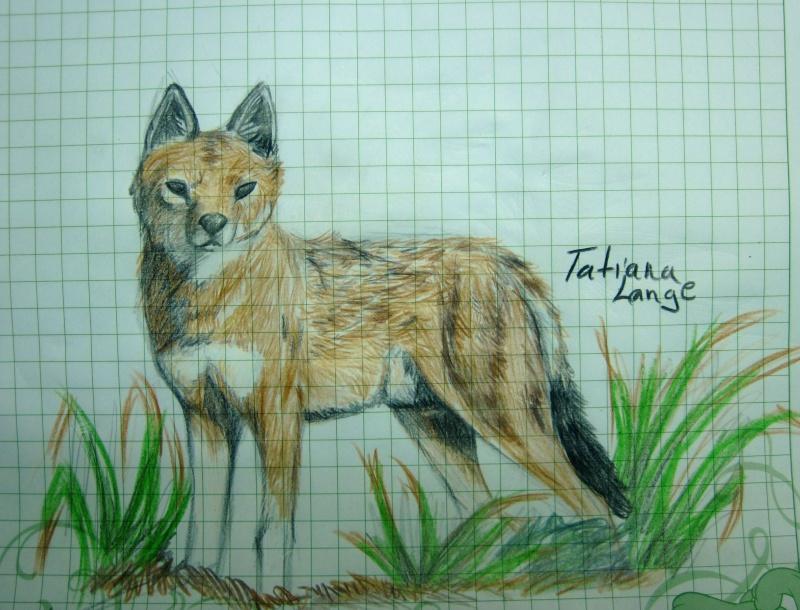 Ethiopian Wolf Img_0711
