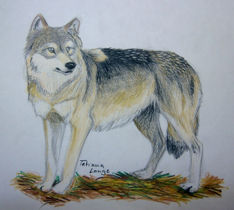 Wolf Realistic Img_0714