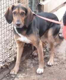 CALIMERO, croisé beagle/bruno du Jura mâle, 3 ans 1/2 (39) Crbst_13