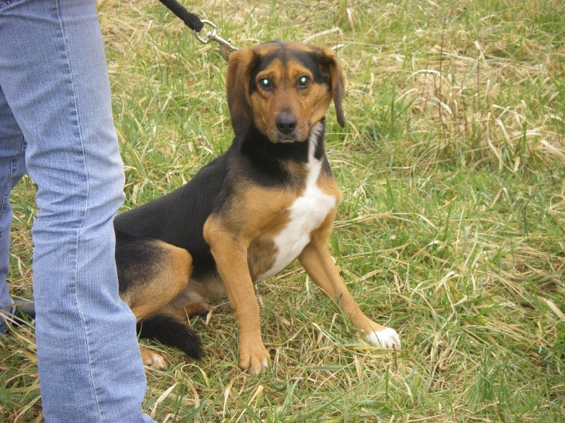 CALIMERO, croisé beagle/bruno du Jura mâle, 3 ans 1/2 (39) Imgp0010