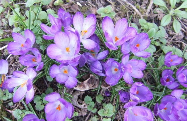 Tites fleurs en mars Crocus11