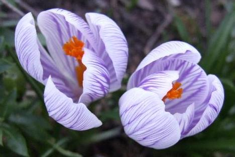 Tites fleurs en mars Crocus13