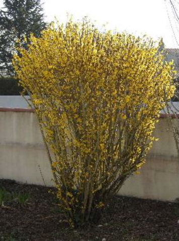Tites fleurs en mars Forsyt11