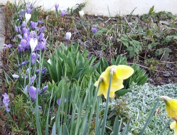 Tites fleurs en mars Jardin10