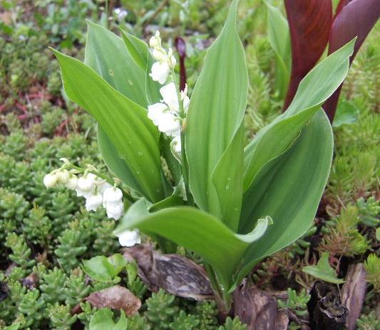 muguet en fleur Muguet12