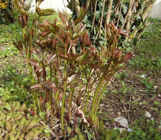 Les pivoines arbustes Pivoin11