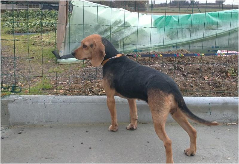 VENISE, beagle femelle, 7 ans (44) Venise10