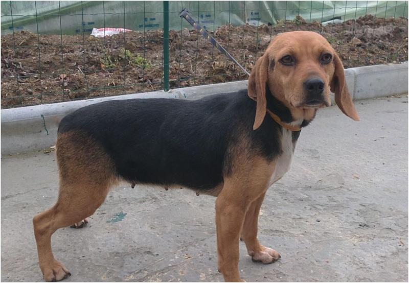 VENISE, beagle femelle, 7 ans (44) Venise11