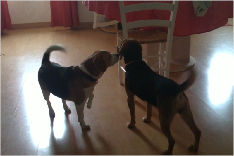 VENISE, beagle femelle, 7 ans (44) Venise15