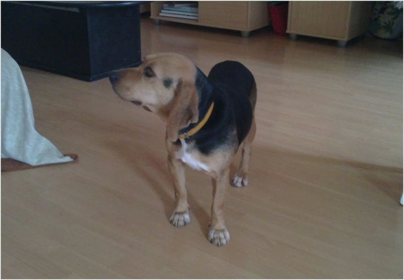 VENISE, beagle femelle, 7 ans (44) Venise16