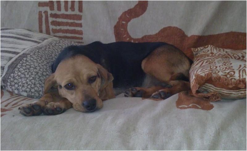 VENISE, beagle femelle, 7 ans (44) Venise17
