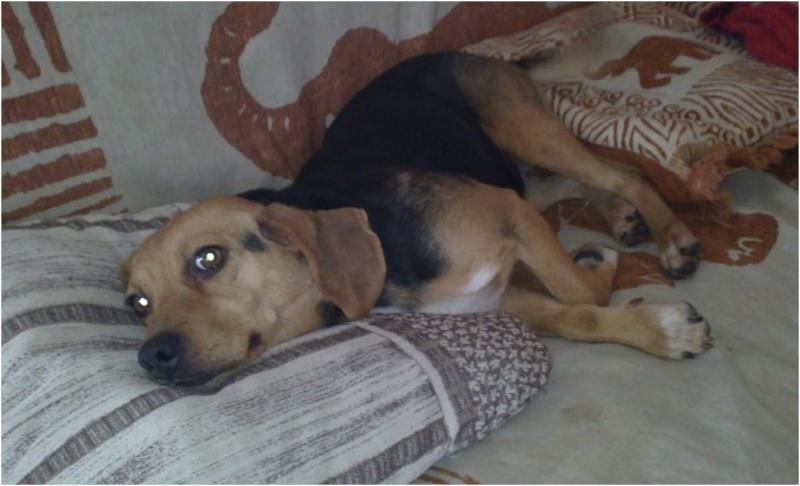 VENISE, beagle femelle, 7 ans (44) Venise19