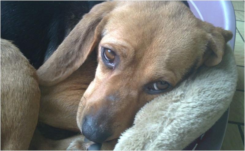VENISE, beagle femelle, 7 ans (44) Venise21