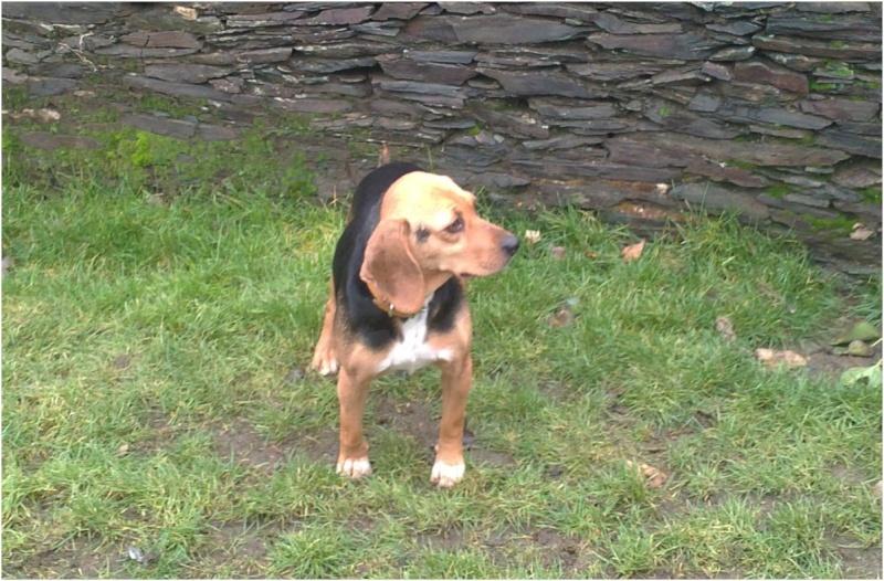 VENISE, beagle femelle, 7 ans (44) Venise25