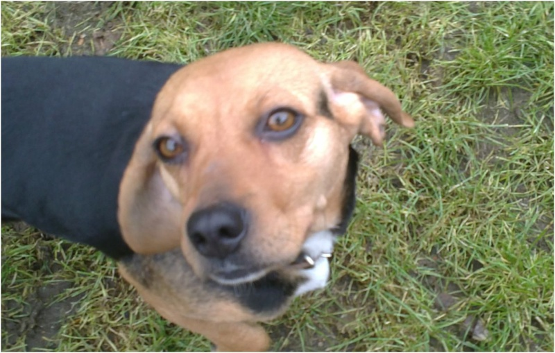 VENISE, beagle femelle, 7 ans (44) Venise26