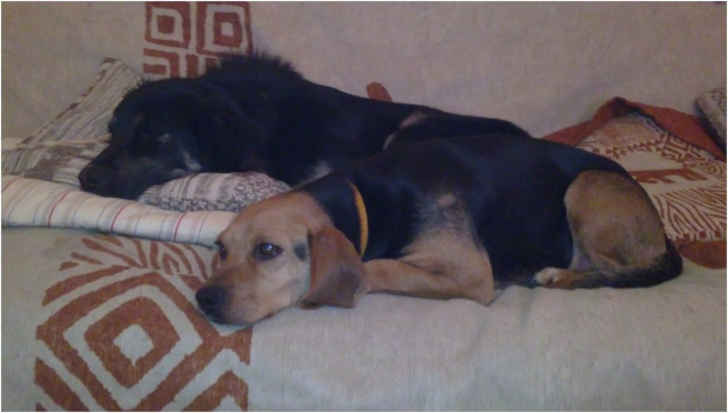 VENISE, beagle femelle, 7 ans (44) Venise28