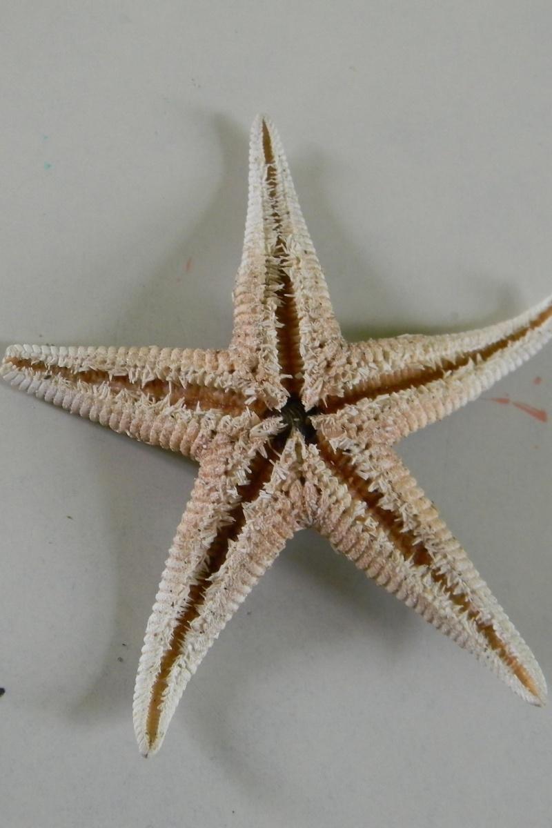 Identification d'une étoile de mer Dscn5811