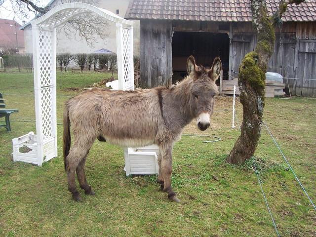 DIDOU - âne né en 2008  - adopté en mars 2011 par Comtois&co Photo_13