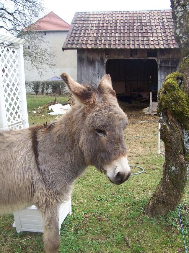 DIDOU - âne né en 2008  - adopté en mars 2011 par Comtois&co Photo_14