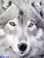 Kit signature et Avatar offert Loup10
