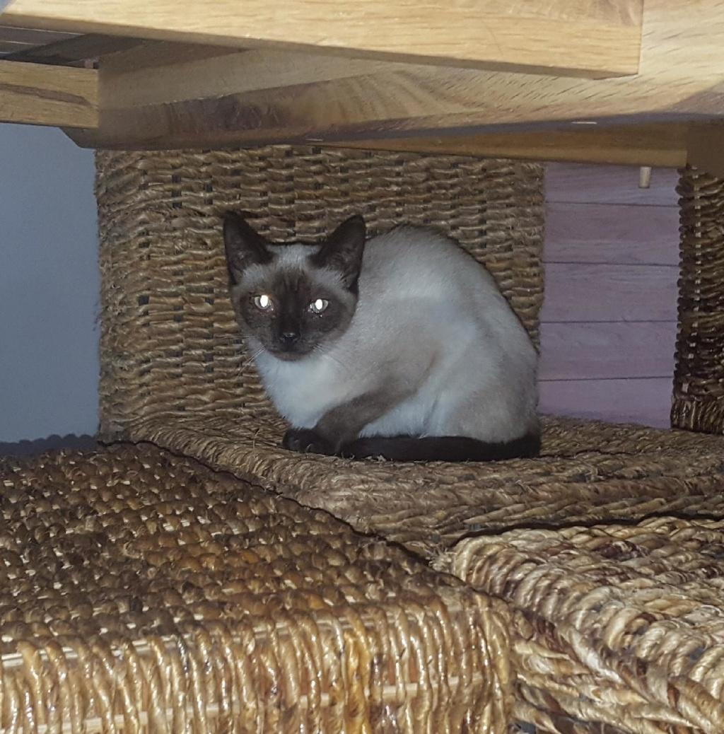 Raoule - chatte typée siamoise - À sociabiliser E16adb10