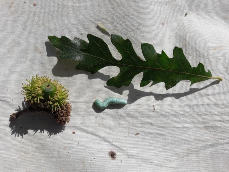 Chenille sur Quercus cerris à identifier : Pterostoma palpina ? [Drymonia querna] 20190810