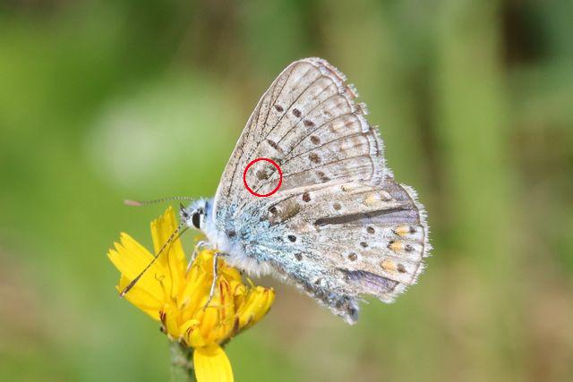 [Polyommatus icarus]? 5744_a10