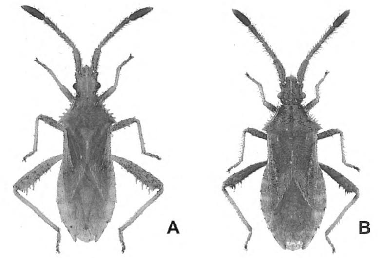 [Coriomeris denticulatus] Coreidae : Coriomeris ? Af_et_10