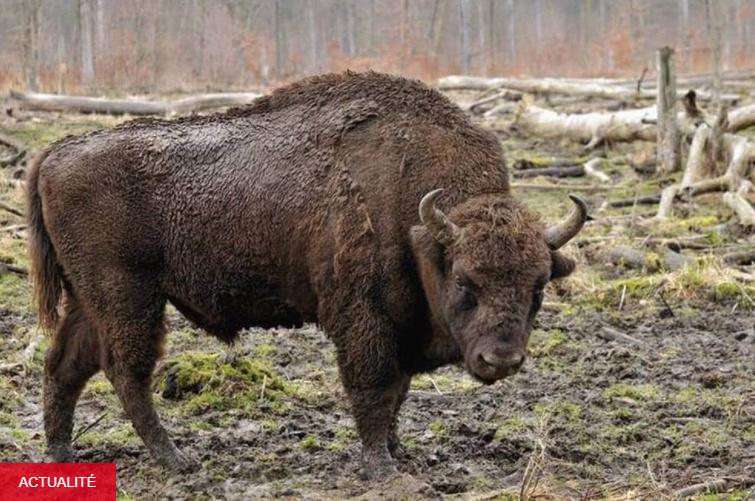 [Biblio] Rewilding : L'Europe réensauvagée de Gilbert Cochet et Béatrice Kremer-Cochet Bison10