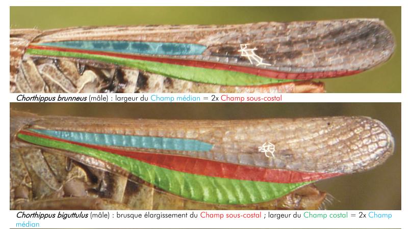 [Chorthippus biguttulus] Encore un Acrididae Brubig10