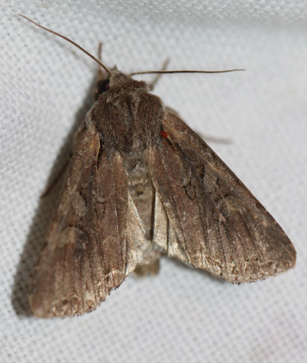 [Lacanobia suasa] Noctuelle marron à identifier  Img_0513