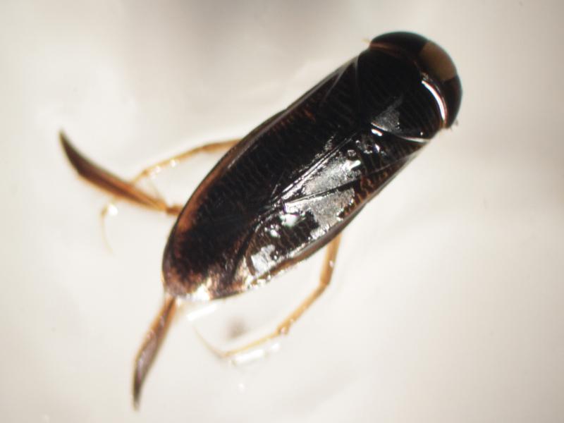 [Hesperocorixa sahlbergi] Corixidae de 7 mm (n°1) à confirmer Img_2223