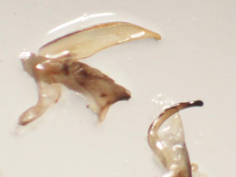 [Hesperocorixa sahlbergi] Corixidae de 7 mm (n°1) à confirmer Img_2225