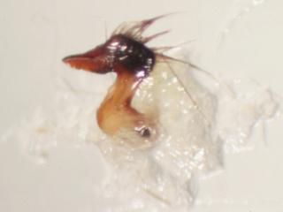 [Notonecta viridis et Notonecta maculata] Deux notonectes de Pléchâtel à confirmer Img_2320