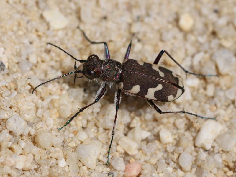 Cicindela hybrida, la Cicindèle hybride à rechercher dans les sablières Img_2511