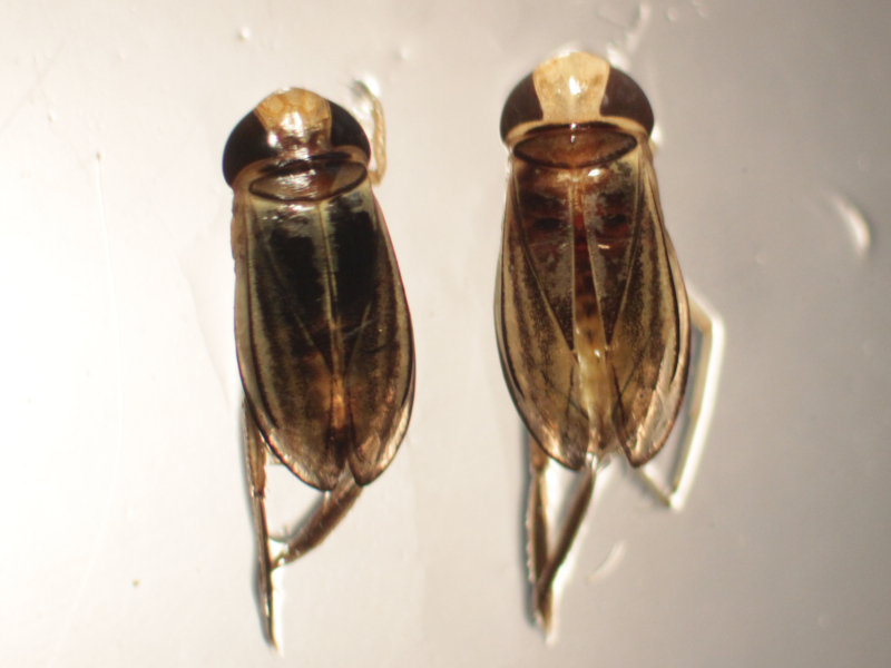 [Cymatia coleoptrata] Petite corise à bordure claire Img_2616