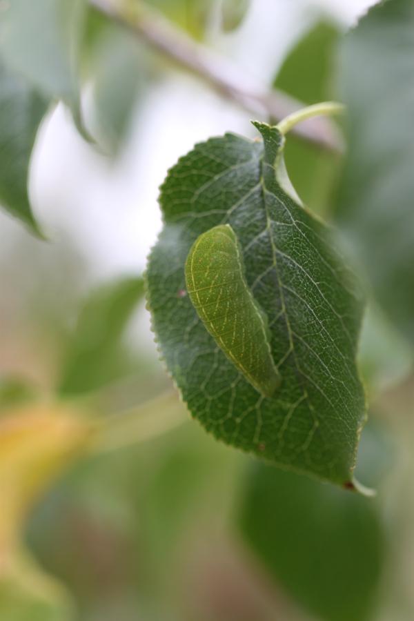 Plant-hôte bretonne de chenilles de Flambé à identifier [Iphiclides podalirius sur Prunus mahaleb] Img_2815