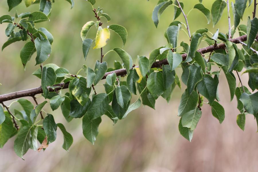Plant-hôte bretonne de chenilles de Flambé à identifier [Iphiclides podalirius sur Prunus mahaleb] Img_2816
