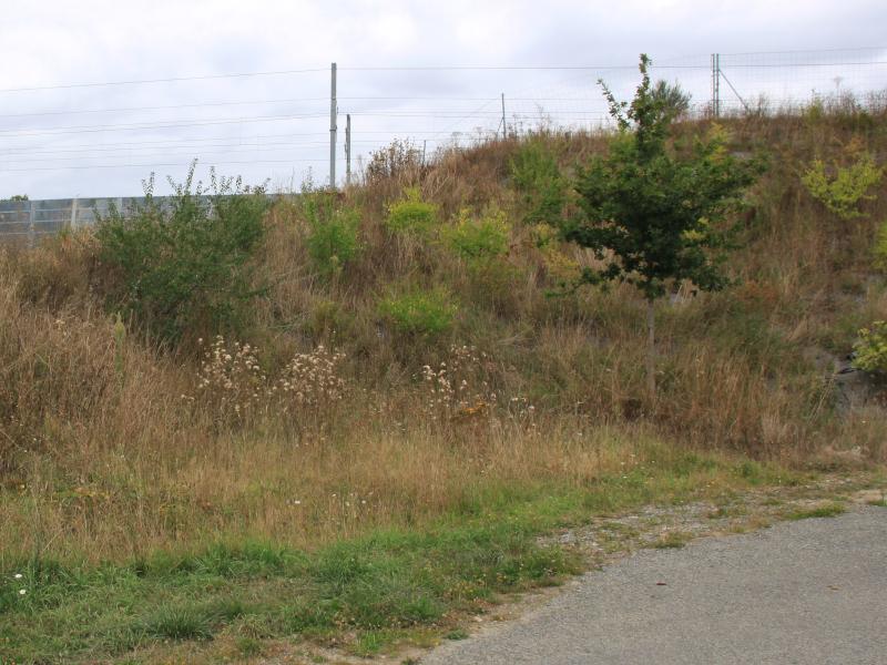 Plant-hôte bretonne de chenilles de Flambé à identifier [Iphiclides podalirius sur Prunus mahaleb] Img_2818