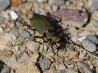 Cicindela hybrida, la Cicindèle hybride à rechercher dans les sablières Img_3118