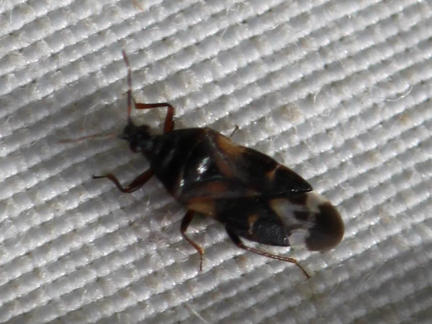[Anthocoris sp.] Anthocoris sur frêne ? Img_3312