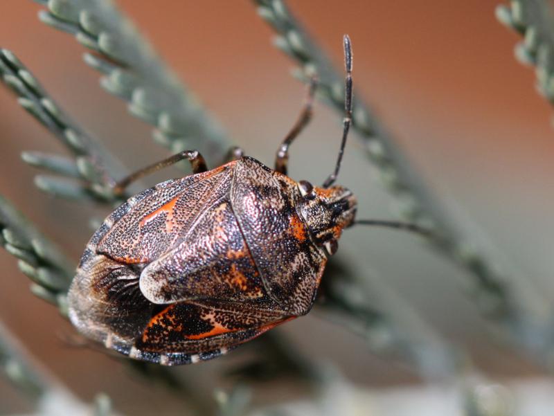 [Holcogaster fibulata] Holcogaster fibulata à Rennes Img_4912