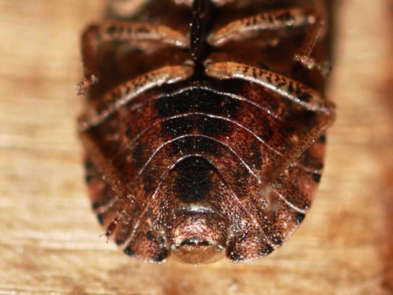 [Sciocoris homalonotus] Petit Pentatomidae marron : Sciocoris homalonotus ? Img_5316
